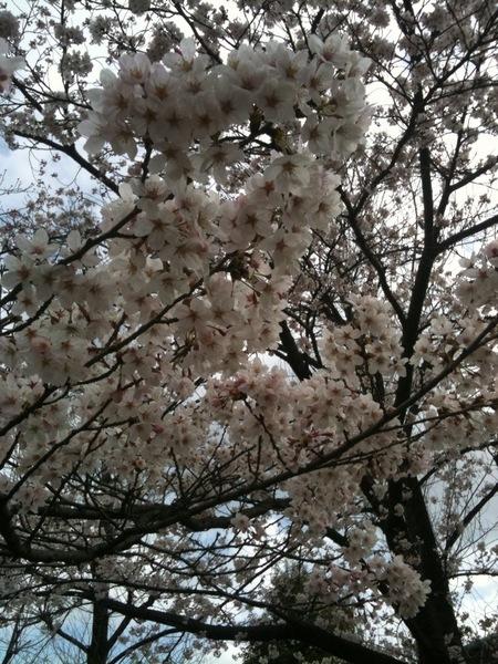 2010桜1.jpg